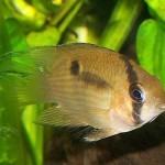 Акара Марони (Cleithracara maronii, Aequidens maronii)