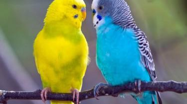 Факты о волнистых попугаях