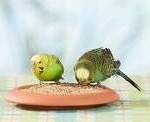 Рацион в период размножения волнистых попугаев