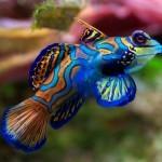 Мандаринка («психоделическая рыба») — самая разноцветная рыбка в мире