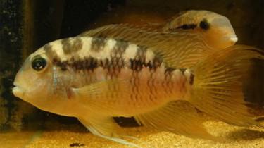 Акара парагвайская, акара виттата (Bujurquina vittata)