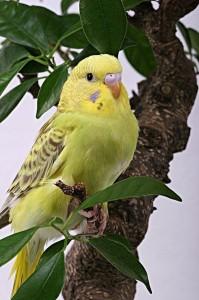 Выбор, уход и содержание волнистых попугаев
