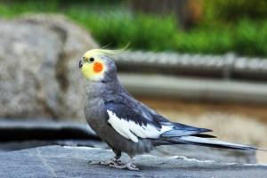 Описание и классификация попугая Корелла (нимфовый попугай)
