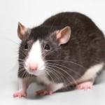 Описание и классификация декоративных крыс