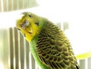 Как определить возраст волнистого попугайчика