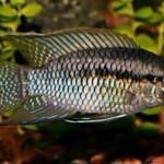 Акара круглоголовая, или акара курвицепс (Laetacara curviceps, Aequidens curviceps)