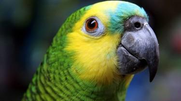 Синелобый амазон (Amazona aestiva)