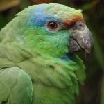 Праздничный амазон (Amazona festiva)