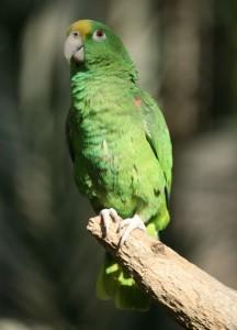 Желтолобый амазон, или суринамский амазон (Amazona ochrocephala)