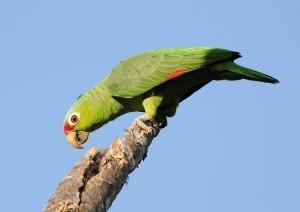 Роскошный амазон (Amazona pretrei)
