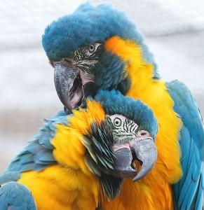 Синегорлый ара (Ara glaucogularis)