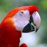 Красный ара (Ara macao)