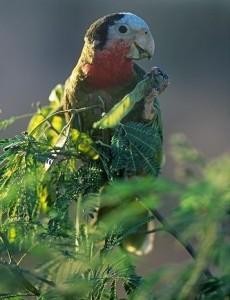 Кубинский амазон, или белоголовый амазон (Amazona leucocephala)