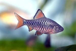 Барбус олиголепис или островной усач (Barbus oligolepis)