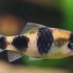 Барбус панда, полосатый барбус (Puntius fasciatus, barbus fasciatus)