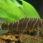 Боция-зебра или полосатая боция (Botia superciliaris, Botia striata Rao)