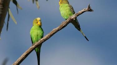 Сроки разведения волнистых попугаев