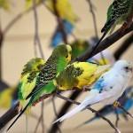Окрасы волнистых попугаев
