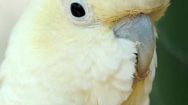 Филиппинский какаду (Cacatua haematuropygia, Kakatoe haematuropygia)