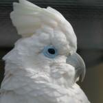 Соломонский какаду (Cacatua ducorpsii, Plyctolophus ducrops)