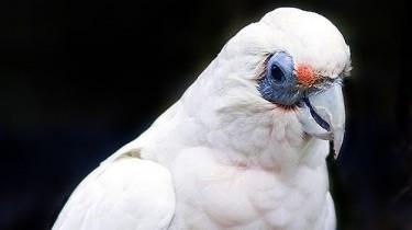 Тонкоклювый какаду, или западная носатая корелла (Cacatua pastinator)