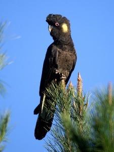Траурный какаду желтоухий (Calyptorhynchus (Zanda) funereus)