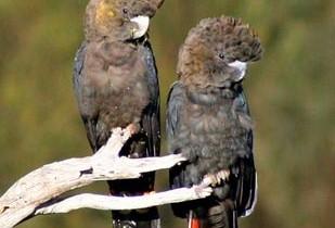 Буроголовый траурный какаду (Calyptorhynchus lathami)