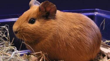 Описание и классификация морских свинок
