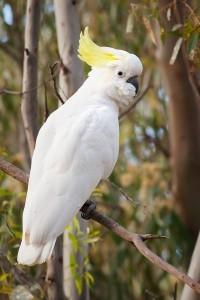 Большой желтохохлый какаду (Cacatua galerita, Plyctolophus galeritus)