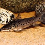 Дианема бронзовая, длинноусая дианема, дианема лонгибарбис (Dianema longibarbis)