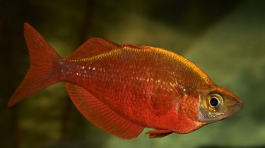 Атерина красная, Радужник гребенчатый, Глоссолепис красный (Glossolepis incisus)