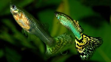 «Умные» рыбки оставляют меньше потомства