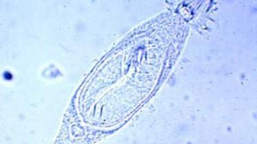 Гиродактилез (Gyrodactylus). Симптомы. Лечение