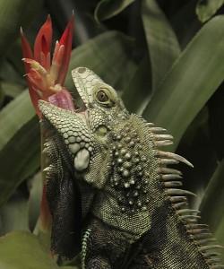 Обыкновенная игуана, или зеленая игуана (Iguana iguana)