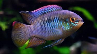 Акара курвицепс или Летакара курвицепс (Laetacara curviceps)