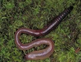 Земляные, или дождевые черви (Lumbricina)