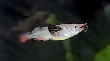 Полурыл красно-черный, Номорамфус Лима (Nomorhamphus liemi)