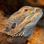 Бородатая агама (Pogona vitticeps)