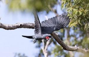 Черный какаду (Probosciger aterrimus)