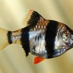 Барбус суматранский (Puntius tetrazona, Barbus tetrazona, Capoeta tetrazona)