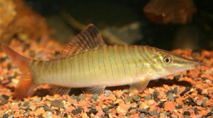 Тигровая боция (Syncrossus hymenophysa)