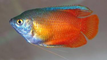 Гурами медовый (Trichogaster chuna, Colisa sota)
