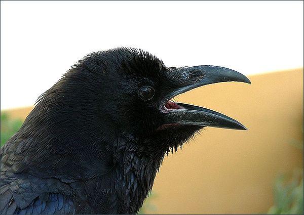 Кто умнее — попугай или ворон?