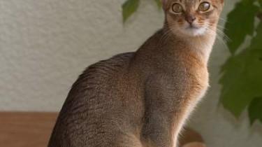 Абиссинская кошка