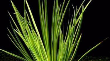 Аир злаковый, форма садовая (Acorus gramineus var. decoratus)