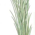Аир злаковый variegatus (Acorus gramineus variegatus)