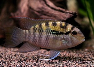 Акара перуанская (Bujurquina syspilus)