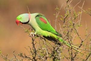 Александров кольчатый попугай (Psittacula eupatria)