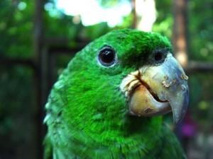 Амазон Кавалла (Amazona kawalli)