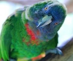 Краснозобый амазон (Amazona arausiaca)